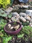 Pond maple bonsai